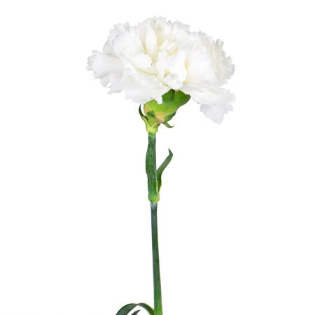 Order white carnations by the piece at on-line flower shop