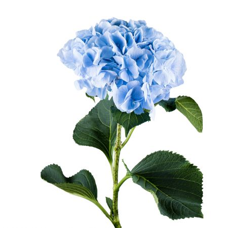 Buy marvellous azure hydrangeas. Delivery to any city!