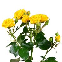 Order Yellow spay roses by the piece with international flower delivery