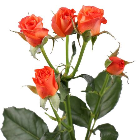Order a bouquet of orange shrub roses in the online store