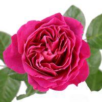 Bouquet Rose David Austin Kate  per number D