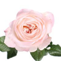 Bouquet Rose David Austin Keira by piece